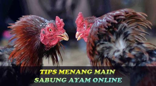 Cara Menang Sabung Ayam Online Uang Asli Tanpa Kalah